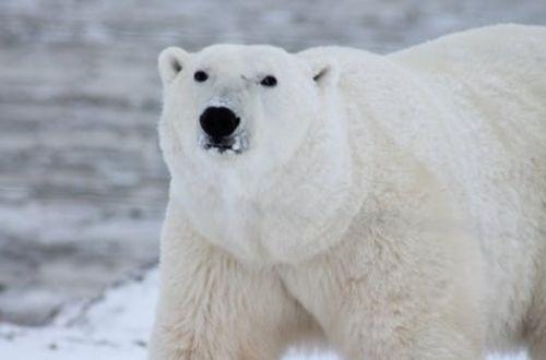 Características del oso polar