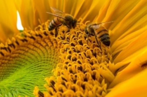 Diferencias entre abejas y avispas