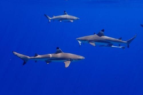 ¿Qué comen los tiburones_
