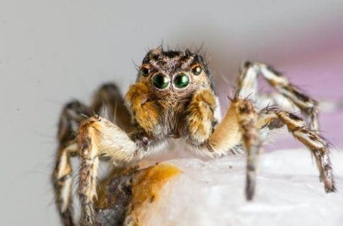 Las múltiples funciones de los ojos en las arañas