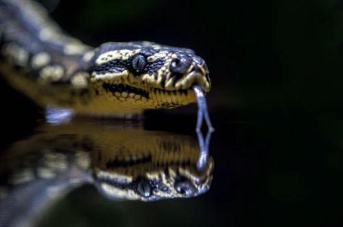 Reproducción de las serpientes