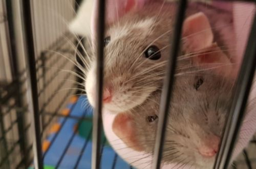 ¿Qué son las ratas?