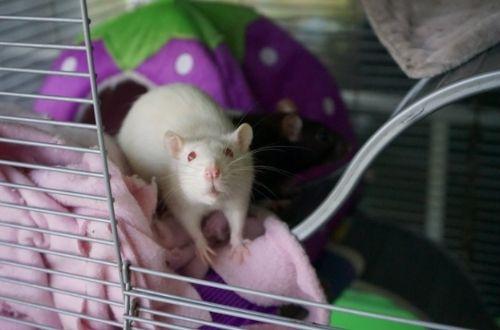 Características de la rata doméstica