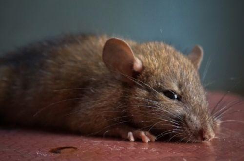 Cuidados en la alimentación de una rata doméstica
