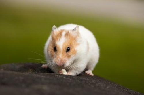 Curiosidades de los hamsters