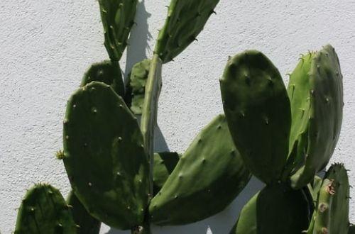 Nutrientes de los nopales