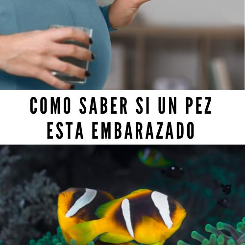 Como saber si un pez esta embarazado