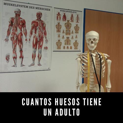 Cuantos huesos tiene un adulto