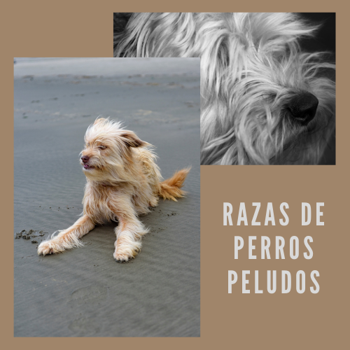 Razas de perros peludos