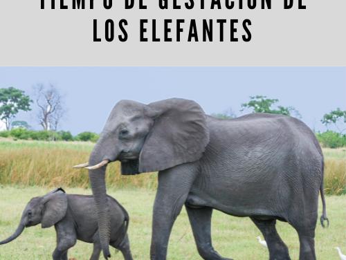 Tiempo de gestación de los elefantes