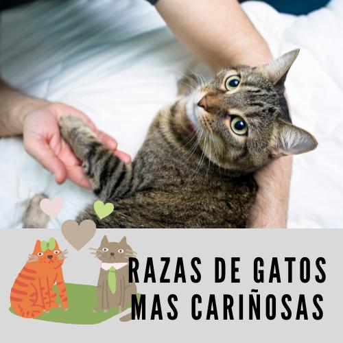 Razas de gatos mas cariñosas
